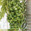 Stock Photo: Are-cNut Palm On Tree