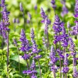Blue Salvia  flowers — Stock Photo
