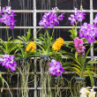 Purple Vanda orchid — Stock Photo
