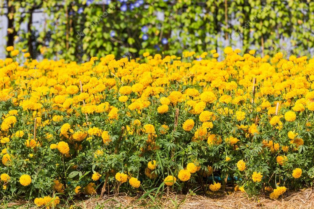 Planta de las maravillas foto de stock 34885293 - Plantas que aguanten el sol ...