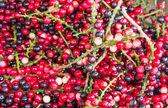 Antidesma of tropical fruit — Zdjęcie stockowe