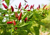 Red hot chili pepper tree — Stock Photo