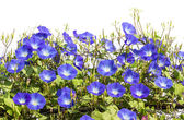 Blue Morning Glory flower in nature — Stock Photo