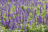 Blue Salvia plant — Stock Photo