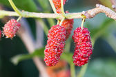 Mulberry on tree is Berry fruit in nature — Stock Photo