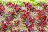 Red lettuce plant — Stock Photo