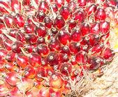Olej palmowy owoce — Zdjęcie stockowe