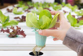 Organic hydroponic vegetable on hand — Stock Photo