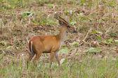 Barking deer in nature  — Stock Photo