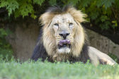 Lion licking his whiskers — Stockfoto