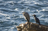 Heron and cormorant on a rock — Stock Photo