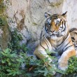 Tiger sitting on the ground — Stock Photo #18435071