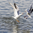 Stock Photo: Battle between gulls