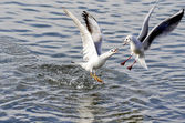 Battle between gulls — Stock Photo