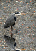 Heron reflected in the river — Stock Photo