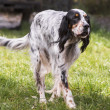 Setter dog breed — Stock Photo