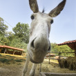Foto Stock: Close-up of face of donkey