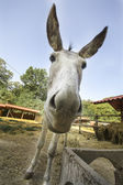 Close-up of the face of a donkey — Stock Photo