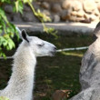 Lama glama feed in zoo - close up - Stock Photo