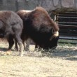 Stock Video: Musk ox feed in zoo - Ovibos moschatus