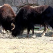 Musk ox feed in zoo - Ovibos moschatus — Stock Video