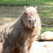 Capibara in zoo - Hydrochoerus hydrochaeris — Stock Video