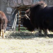 Musk ox feed in zoo - Ovibos moschatus — Stock Video #13458761