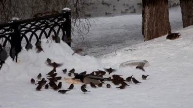 Duck and sparrow feed on snow — Stock Video