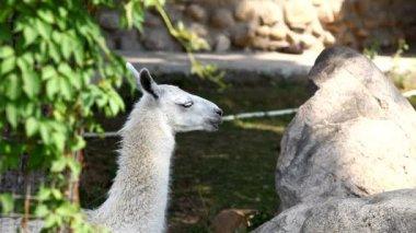 Lama glama feed in zoo - close up — Stock Video