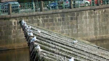 Seagulls fly out from wood riverside of vltava in prague — Stock Video