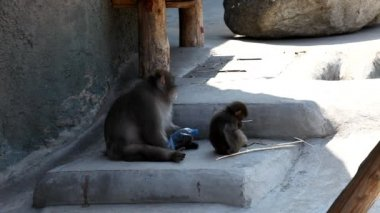 Macaque sit in shadow — Stock Video