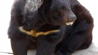 Himalayan bear sit and lick — Stock Video
