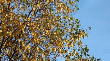 Cacerola de abedul en viento — Vídeo de stock