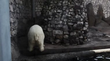 White bear urinate in zoo and walk out — Stock Video