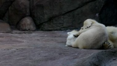 Polar bears in zoo — Stock Video