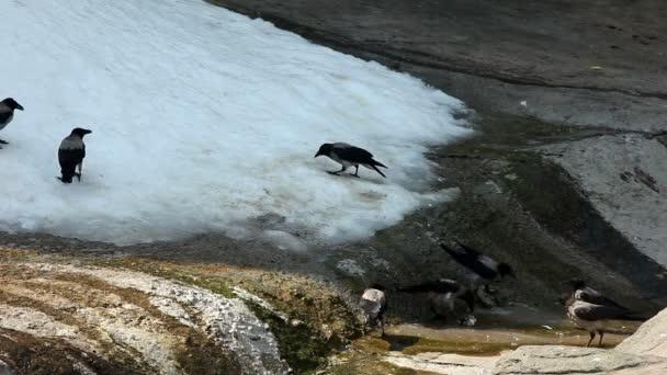 Cuervo jugar en la nieve en zoo — Vídeo de stock