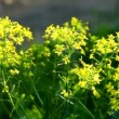 Stock Video: Small yellow flower bush at summer sunset
