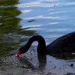 Black swan in dirty lake — Stock Video