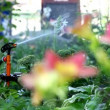 Sprinkler in garden pour flower - focus on flower - Stock Photo