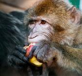 Monkey eating an apple — Stock Photo