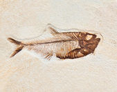 Fish fossil — Stock Photo