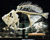 Fish skeleton — Stock Photo