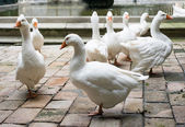 Geese in Cathedral of Saint Eulalia — Stock Photo