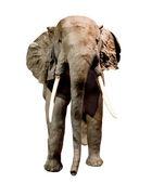 Elephant — Foto de Stock