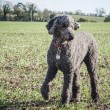 Standard Poodle in Large Field - Stock Photo