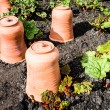 Royalty-Free Stock Photo: Rhubarb with terracotta pots
