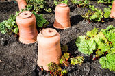 Rhubarb with terracotta pots — Stock Photo