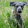 Black dog running through long grass — Stock Photo