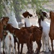Stock Photo: Goats eating from tree, Namibia