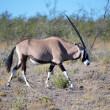 Stock Photo: Oryx im EtoshNP